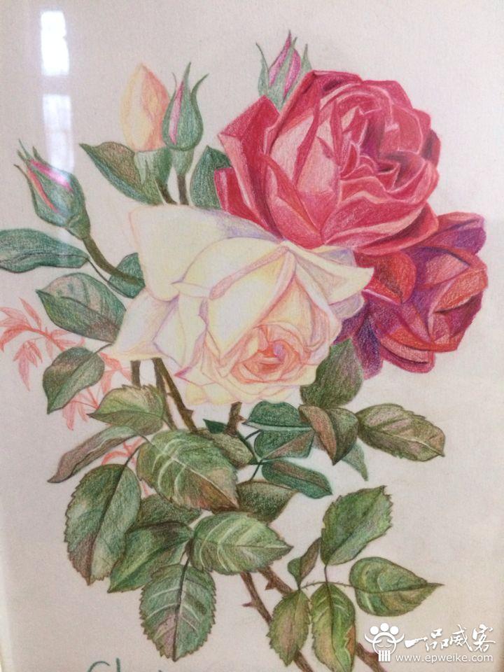 彩色铅笔手工绘制,素描纸上的美丽花朵,挂在墙上温馨美丽,体会彩铅